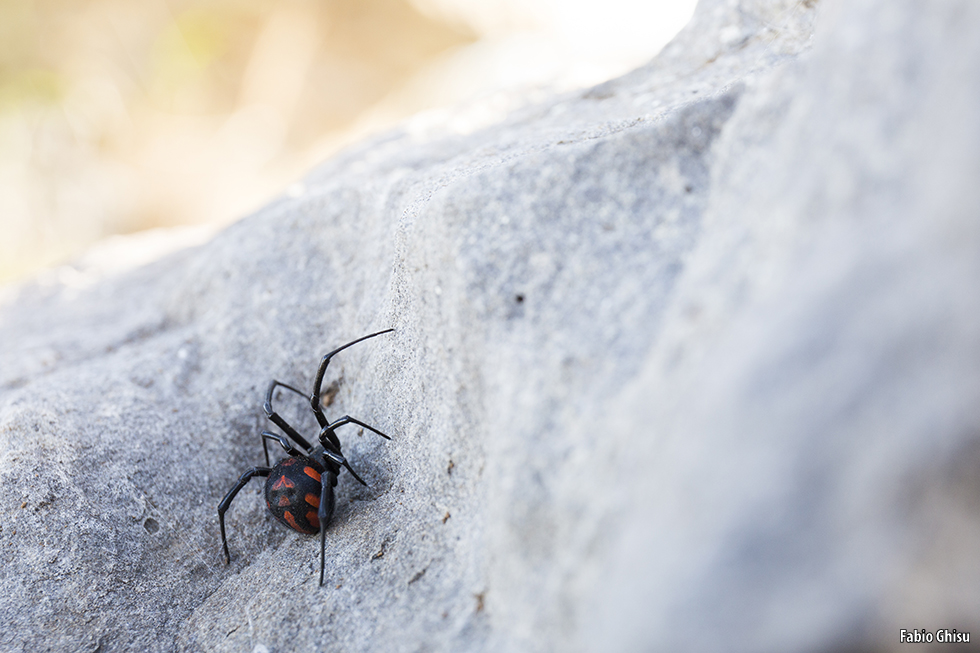 Mediterranean black widow