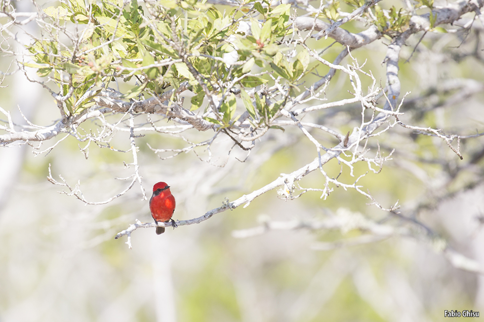 The scarlet flycatcher