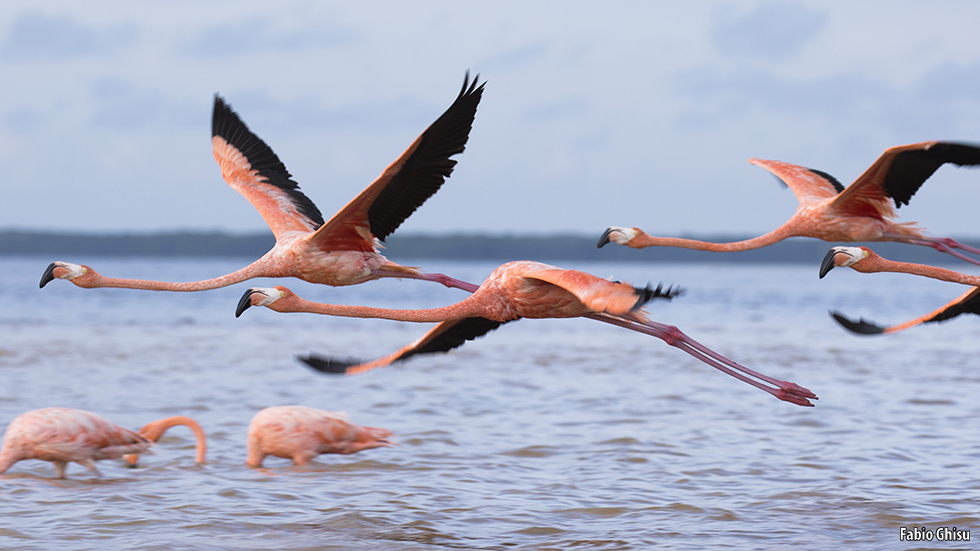 How do flamingos eat?