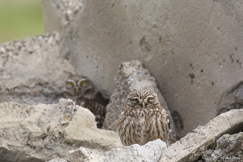 The little owl eyes