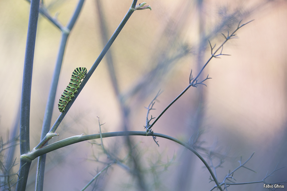 Swallowtail's caterpillar and fennel