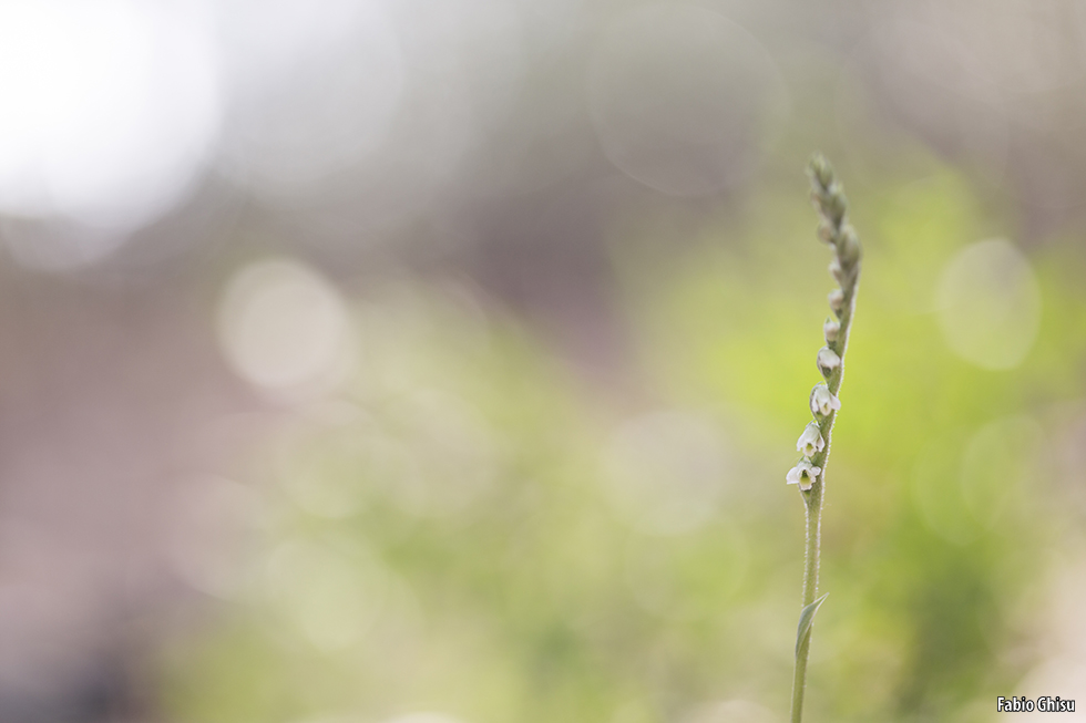 Photograph the Spiranthes spiralis