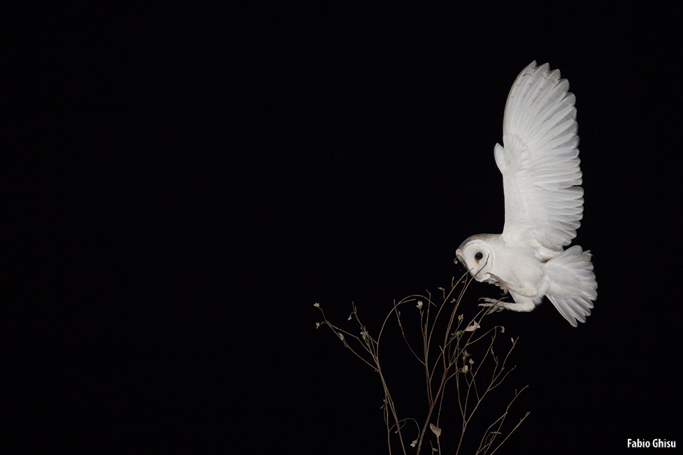 The silent flight of a barn owl